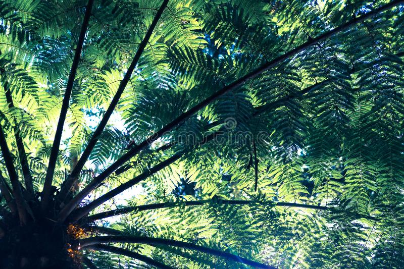 Sunlight shining through punga or ponga tree fern fronds in Keri. Keri, Far North District, Northland, New Zealand, NZ royalty free stock images