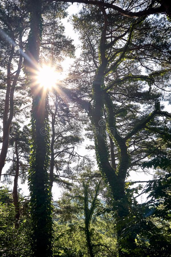 Sunlight shining through the woods at Jechun, South Korea, in the summer stock image