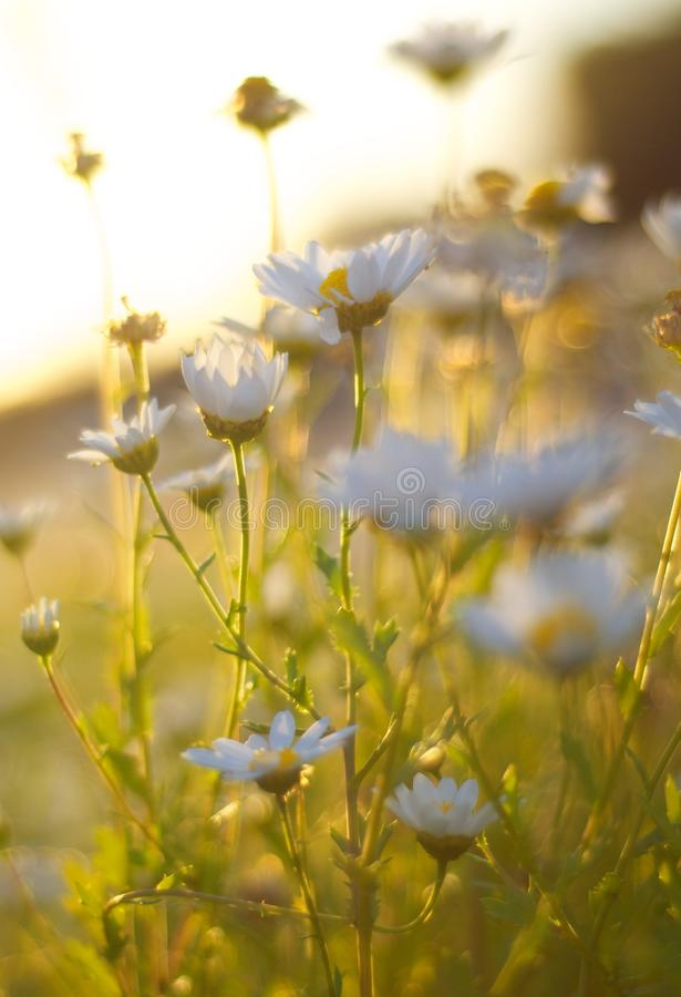 Free Sunlight Shot Through Daisies Stock Image - 14437821