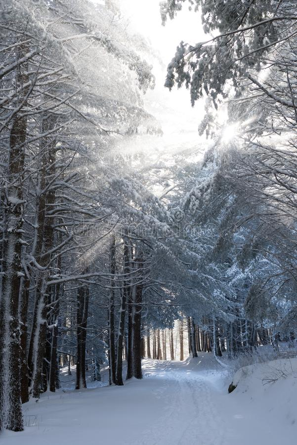 Sunlight through snow covered trees in very cold day stock image