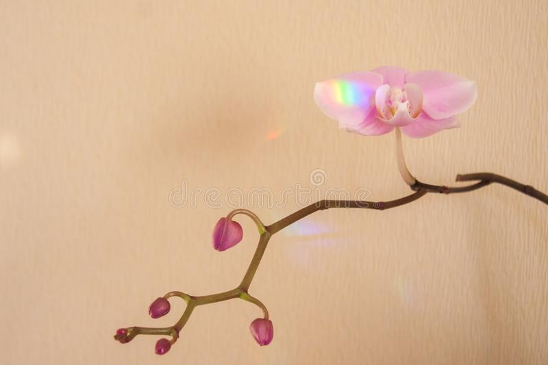 Sunlight spot on branch of pink Orchid Close up royalty free stock image