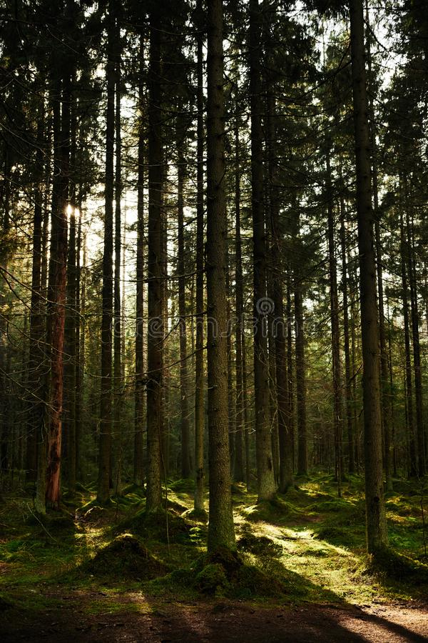 Sunlight streaming through a pine forest stock images