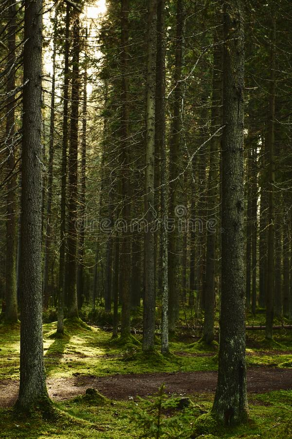 Sunlight streaming through a pine forest royalty free stock image