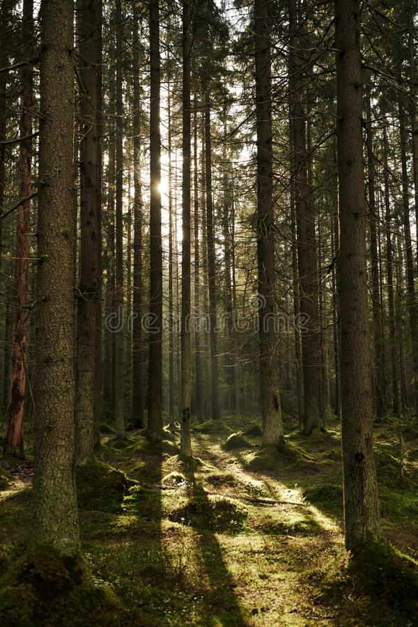 Sunlight streaming through a pine forest royalty free stock images