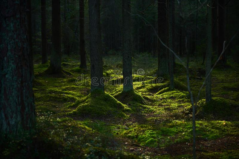 Sunlight streaming through a pine forest royalty free stock photos