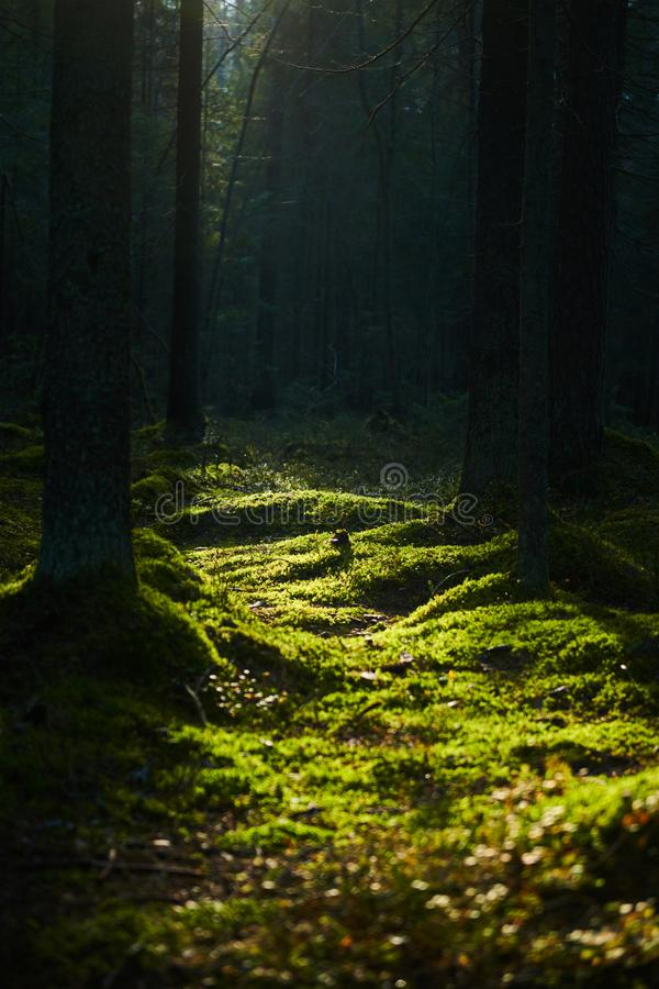Sunlight streaming through a pine forest stock image