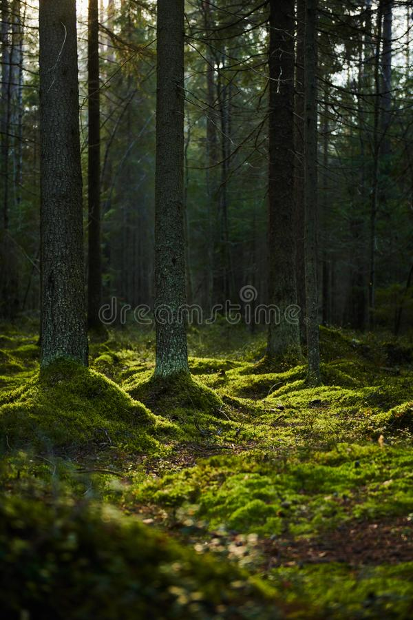 Sunlight streaming through a pine forest stock photo