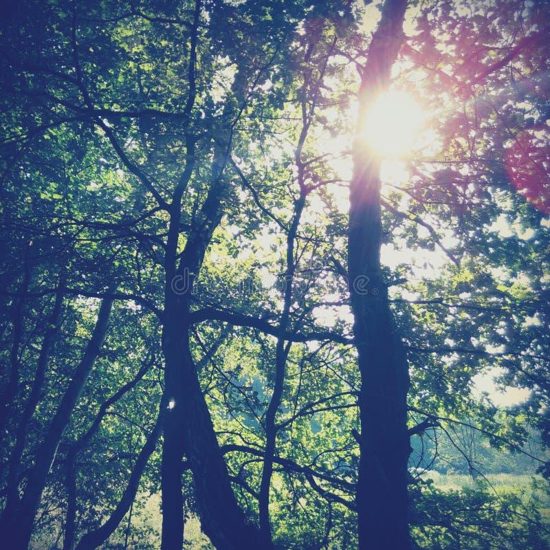 Sunlight streaming through trees royalty free stock photos