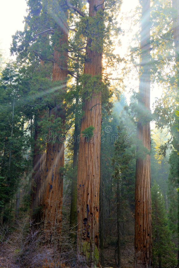 Sunlight streams around massive sequoia trees, sequoia nat park, california. Late afternoon sunlight streams though the foliage of a grove of giant sequoia trees stock photography