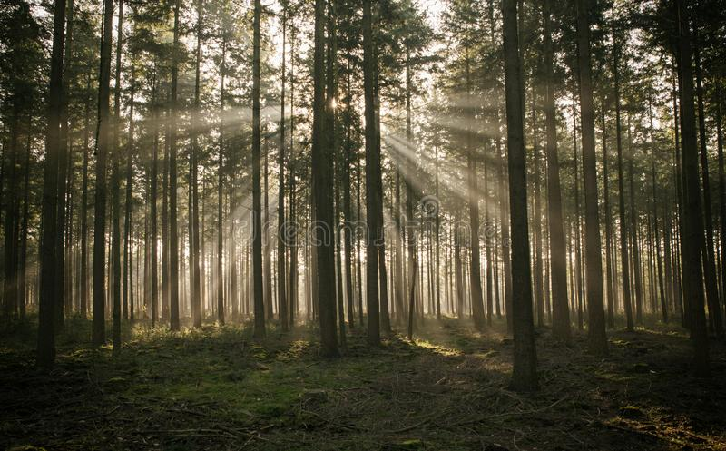 Sunbeam in forest in holland stock photography