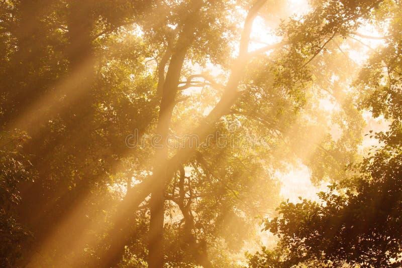 Sunlight through trees royalty free stock photo