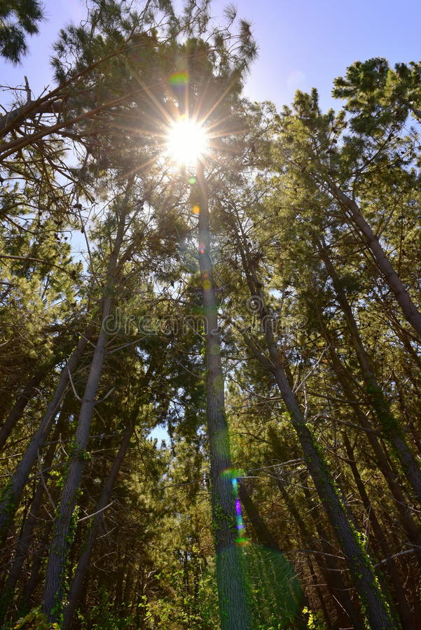 Sunlighting die door de pijnboombomen glanzen in Flessenmeer Forest Park in Christchurch stock fotografie