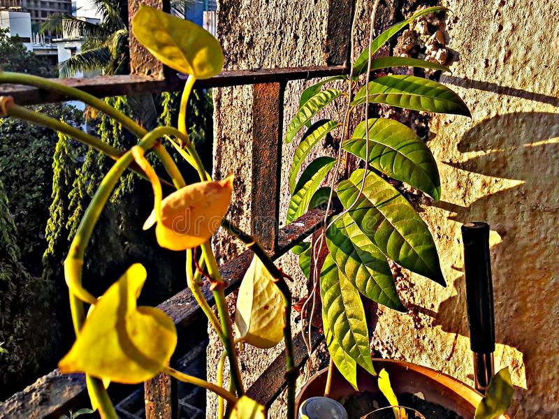 Sunlights en las hojas de la planta en la India foto de archivo libre de regalías