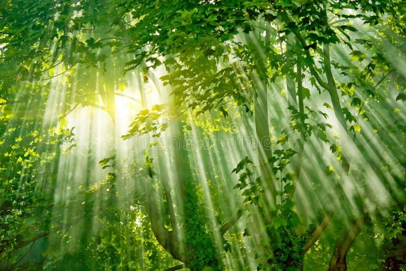 Sunlights magiques dans la forêt photographie stock libre de droits