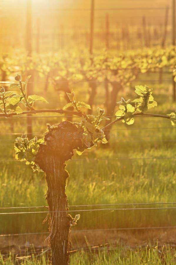 Sunlit виноградное вино в винограднике с золотыми лучами света стоковое изображение rf