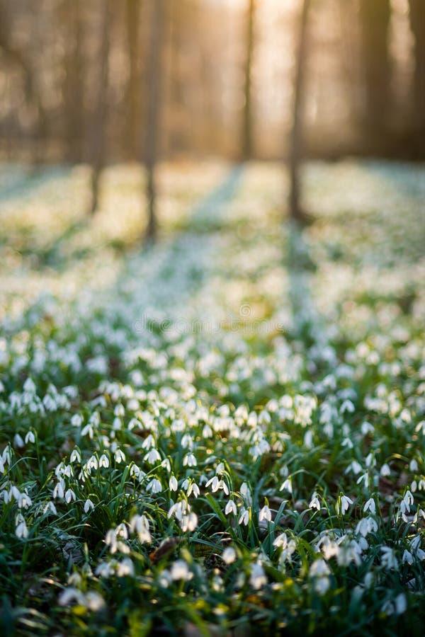 Sunlit лес вполне snowdrop цветет весной сезон стоковые изображения rf
