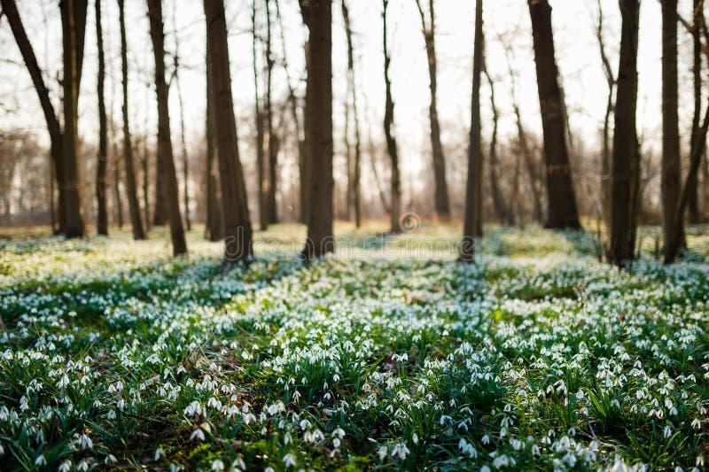 Sunlit лес вполне snowdrop цветет весной сезон стоковые изображения