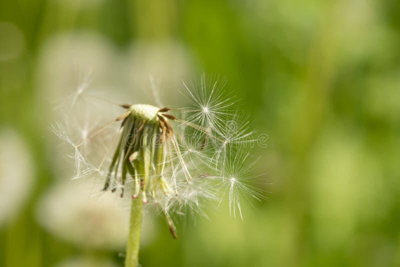 Sunlit, который одуванчик полу-летели на запачканном конце предпосылки зеленой травы вверх стоковые фотографии rf