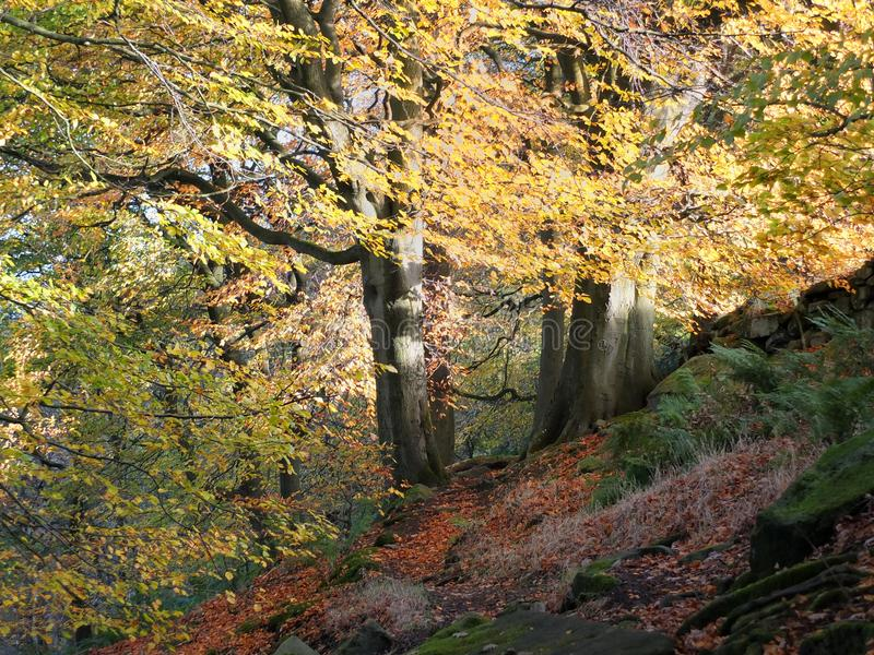 Sunlit beech forest with two ancient trees in autumn woodland. Sunlit beech forest with two ancient trees in autumn, with glowing golden leaves on a sloping hill royalty free stock photos
