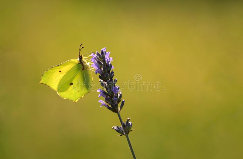 Sunlit Brimstone butterfly Gonepteryx rhamn lavender. Gonepteryx rhamn the common brimstone butterfly on lavender flowers with copy space royalty free stock photos