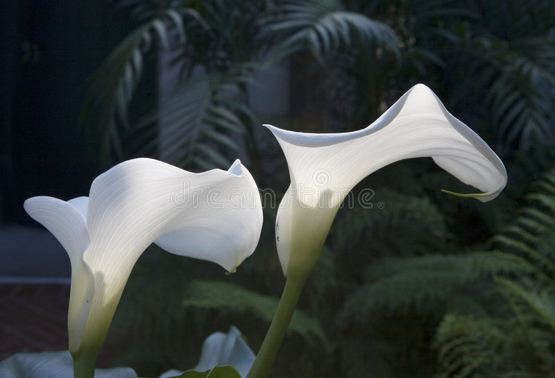 Sunlit calla lilies stock image