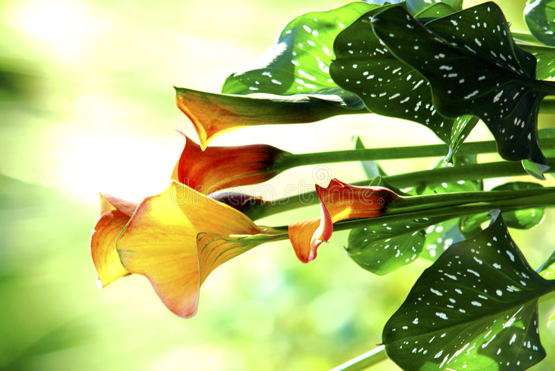 Sunlit Calla Lily royalty free stock image