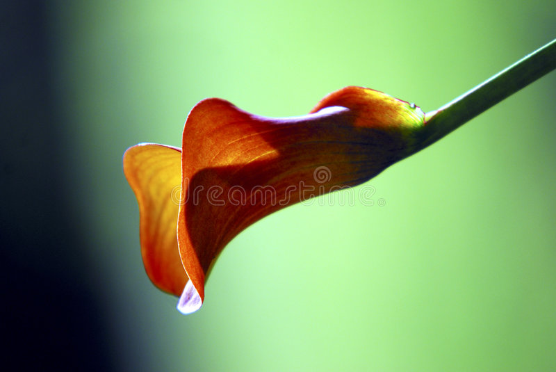 Sunlit Calla Lily royalty free stock photography