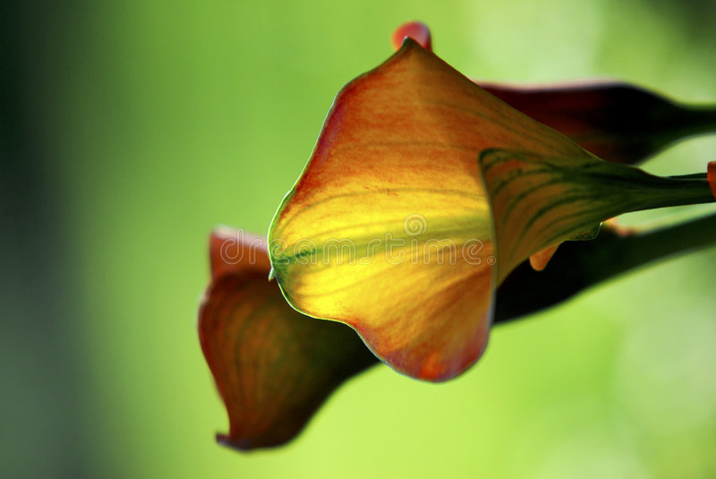 Sunlit Calla Lily royalty free stock images
