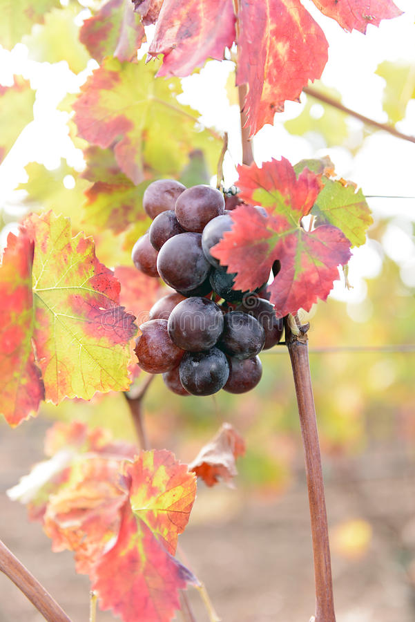 Free Sunlit Colored Vineyard Royalty Free Stock Photos - 46423668