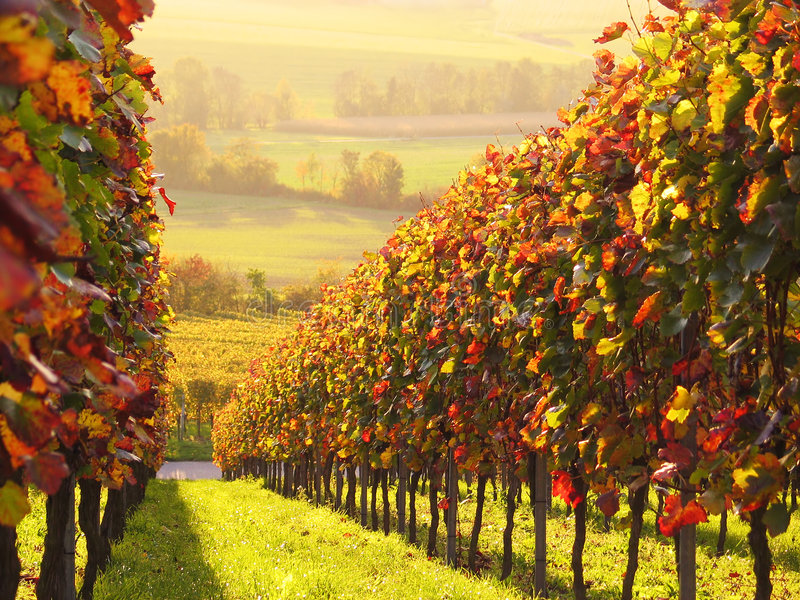Sunlit colored vineyard. Sunlit vineyard with colored leaves. Seen in Southern Germany on a November day in late afternoon hours stock image