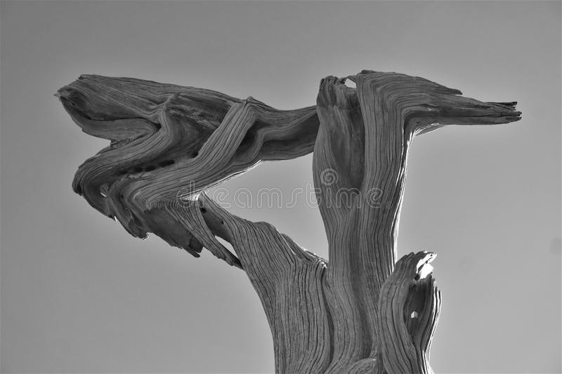 Sunlit dead cedar tree stands warped against the sky. Grey clear sky is the backdrop behind this gnarled and knotted old tree viewed in black and white. Twisted stock photo