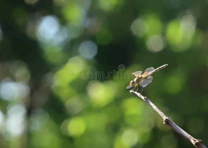 Sunlit dragonfly perched on twig. Sunlit dragonfly perched on the tip of a twig in the bright afternoon sunshine. Blurred background with plenty of space for royalty free stock photo