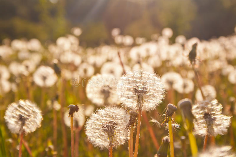 Sunlit field of dandelions stock photos