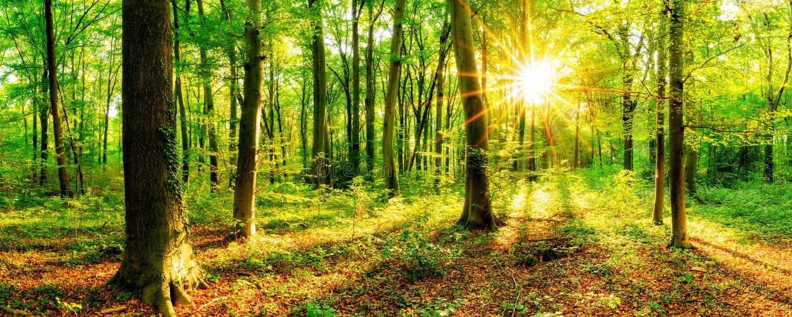 Sunlit forest panorama. Panorama of sunlit green leafy forest in countryside royalty free stock image