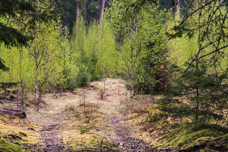 A sunlit forest road through new birch trees. In a forest clearing; natural landscape with trees in spring stock photo