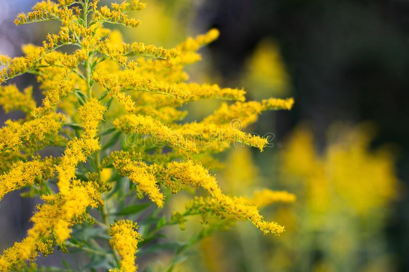 Sunlit Goldenrod, on an Autumn Evening stock image