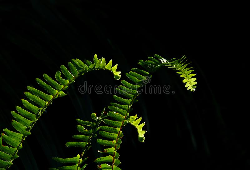 Sunlit green fern fronds against a soft black background. Sunlit green fern fronds against a soft black background in a spotlight effect from high noon sunlight royalty free stock images