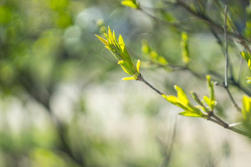 Sunlit green leaves on a tree branch. Beautiful spring background. The concept of new life and youth royalty free stock photo