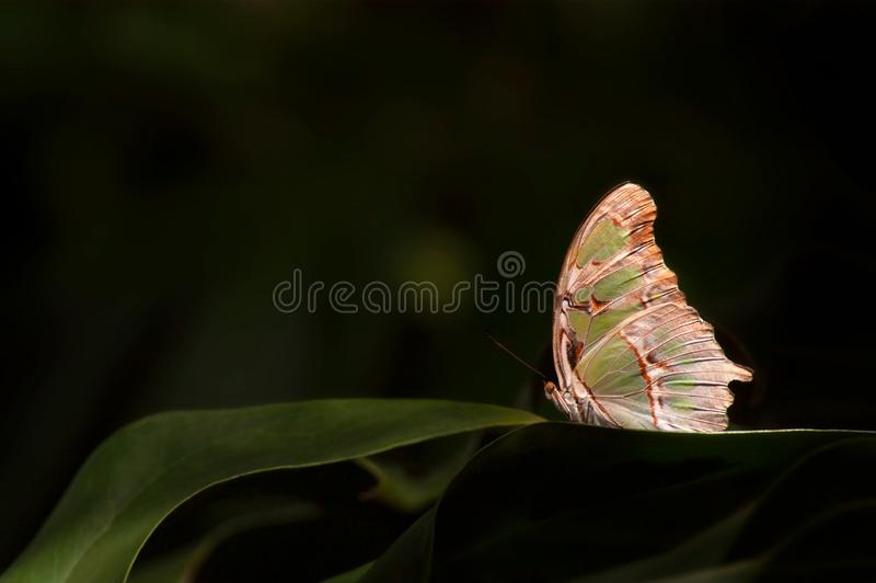 A juniper hairstreak butterfly perched on tropical foliage. A sunlit juniper hairstreak butterfly Callophrys gryneus perched on blades of tropical foliage in royalty free stock image
