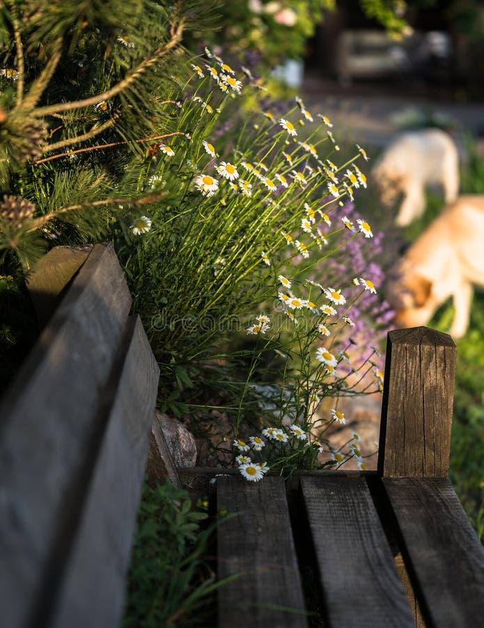 sunlit, many flowering white daisies on long stems stock photo