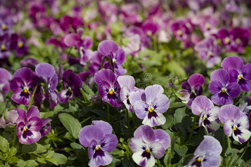 Beautiful sunlit pansy flowers low a small clearing. Pansy flowers lit by the bright sun beautiful  low a small clearing royalty free stock photo