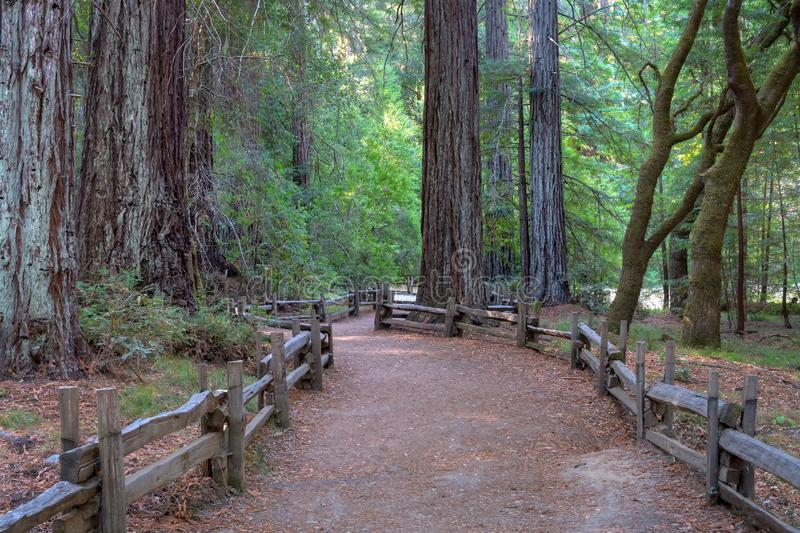 Path through giant redwood forest at Big Basin State Park, California, USA royalty free stock photo