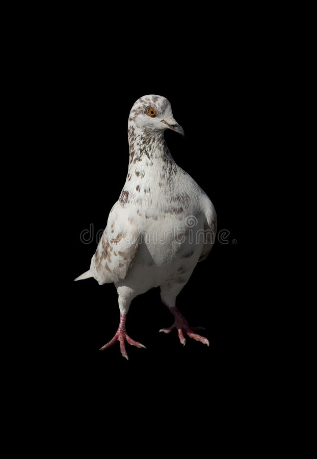 Sunlit pigeon. Isolated on black background stock photography
