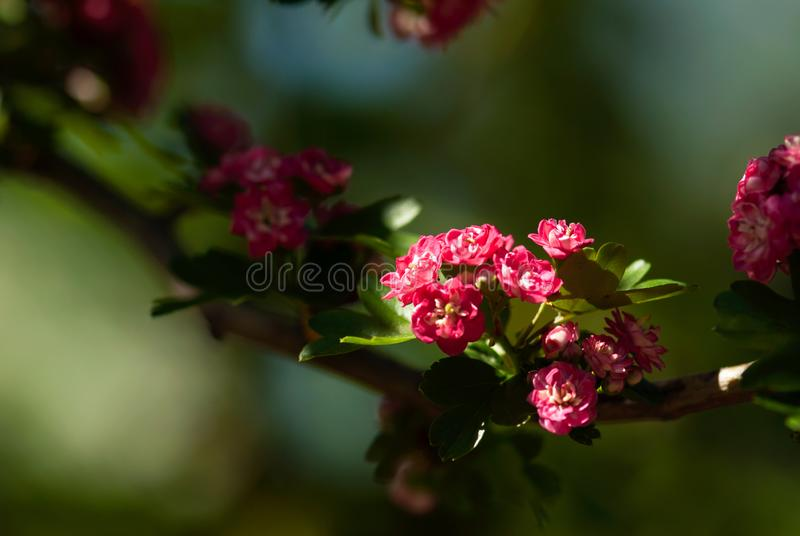 Sunlit Pink Flowers with Green Background. Sunlit pink flowers grow in a cluster on the branch of a bush stock photos