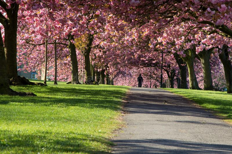 Pink Spring Cherry Blossom Trees. royalty free stock photography