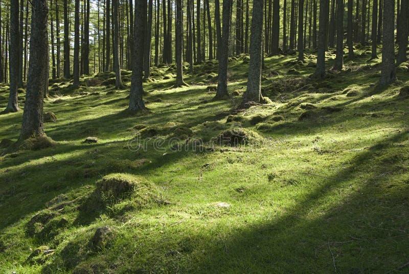 sunlit skogsmark arkivbild