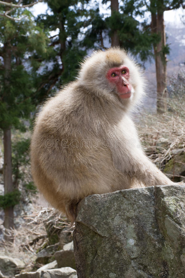 Sunlit Snow Monkey on Boulder. Close up of a sunlit snow monkey or Japanese macaque sitting on a boulder with trees in the background. Shallow depth of field royalty free stock photo