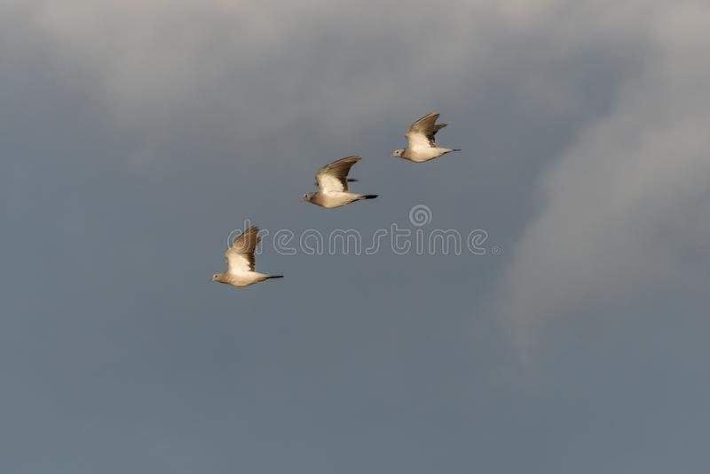 Sunlit Stock Doves tijdens de vlucht royalty-vrije stock fotografie