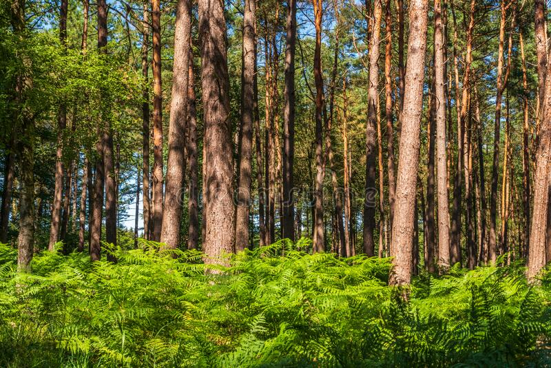 Sunlit trees in the forest, ferns on the ground. Germany royalty free stock image