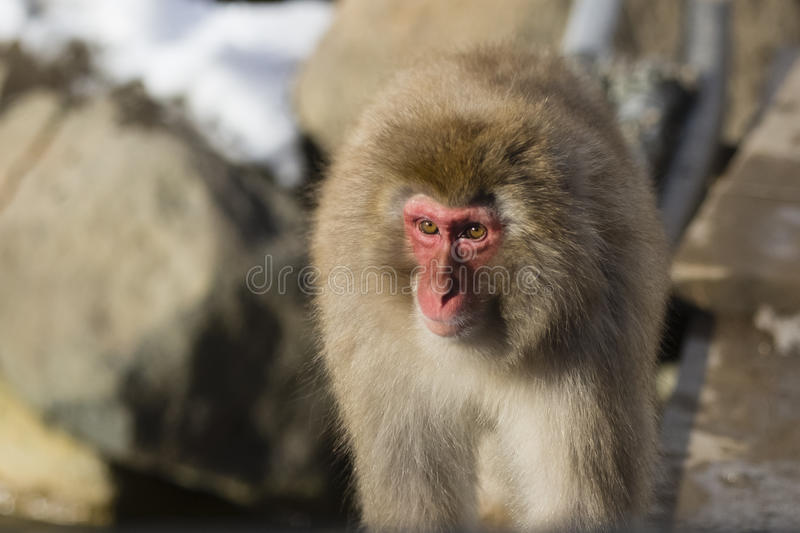 Sunlit Wild Snow Monkey. An adult fuzzy, furry brown red-faced snow monkey walking in the sun is sunlit , accentuating the beauty of it`s eyes and face stock photos